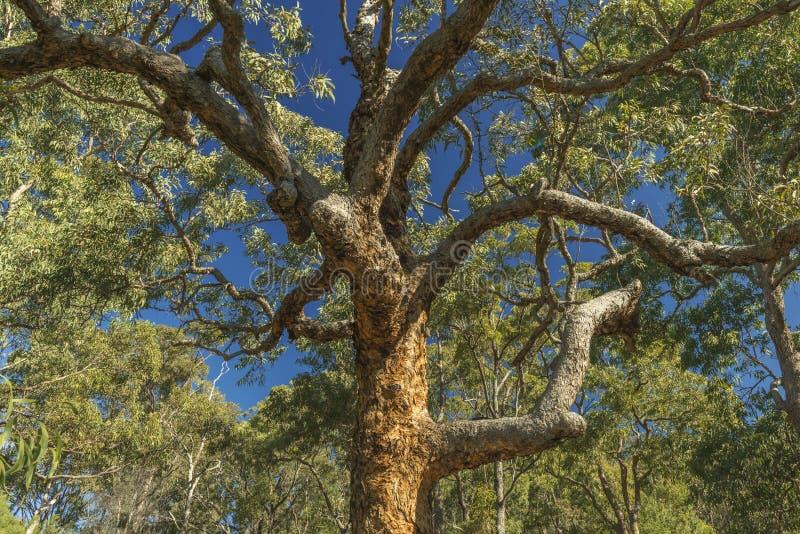 Eukalyptusbaum stockfoto