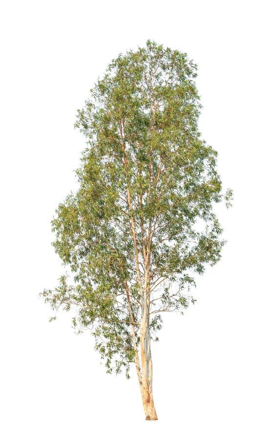 Eukalyptusbaum lokalisiert auf weißem Hintergrund stockfotos