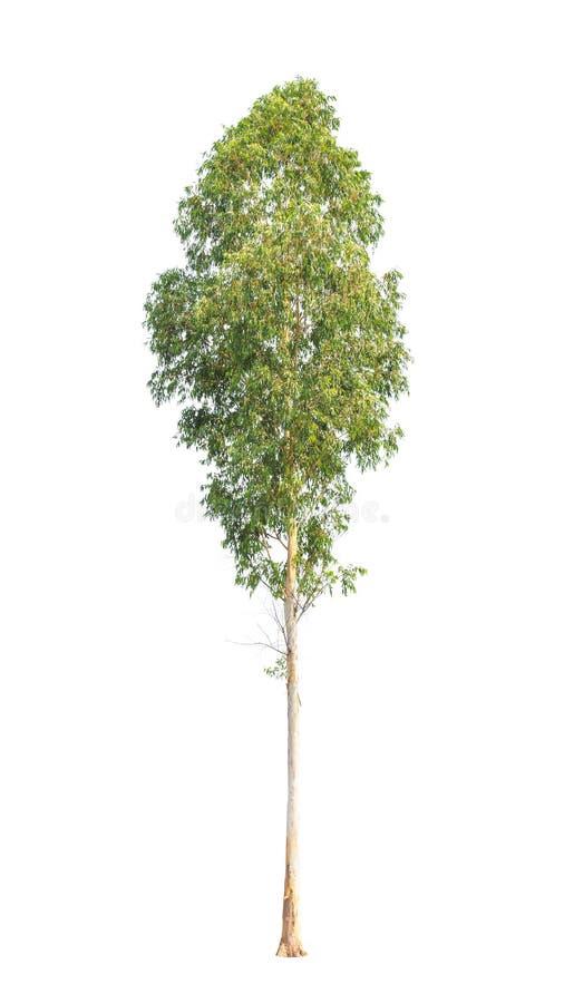 Eukalyptusbaum lokalisiert auf weißem Hintergrund stockbild