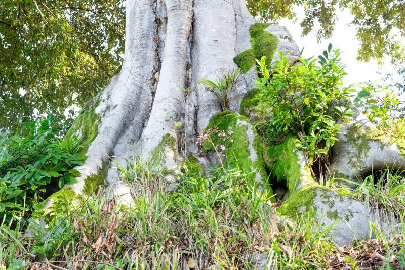 Eukalyptusbaumwurzeln mit grünem Gras um es stockfotos