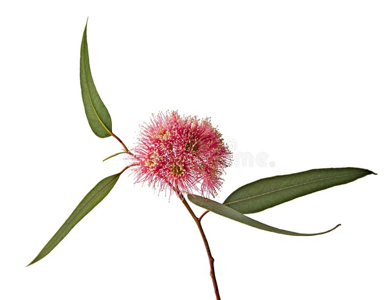 Eukalyptusblomma royaltyfri fotografi