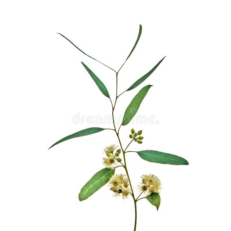 Eukalyptusblomma arkivbild