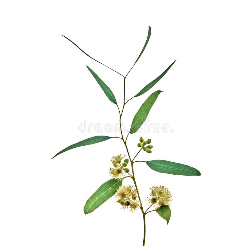 Eukalyptusblume stockfotografie
