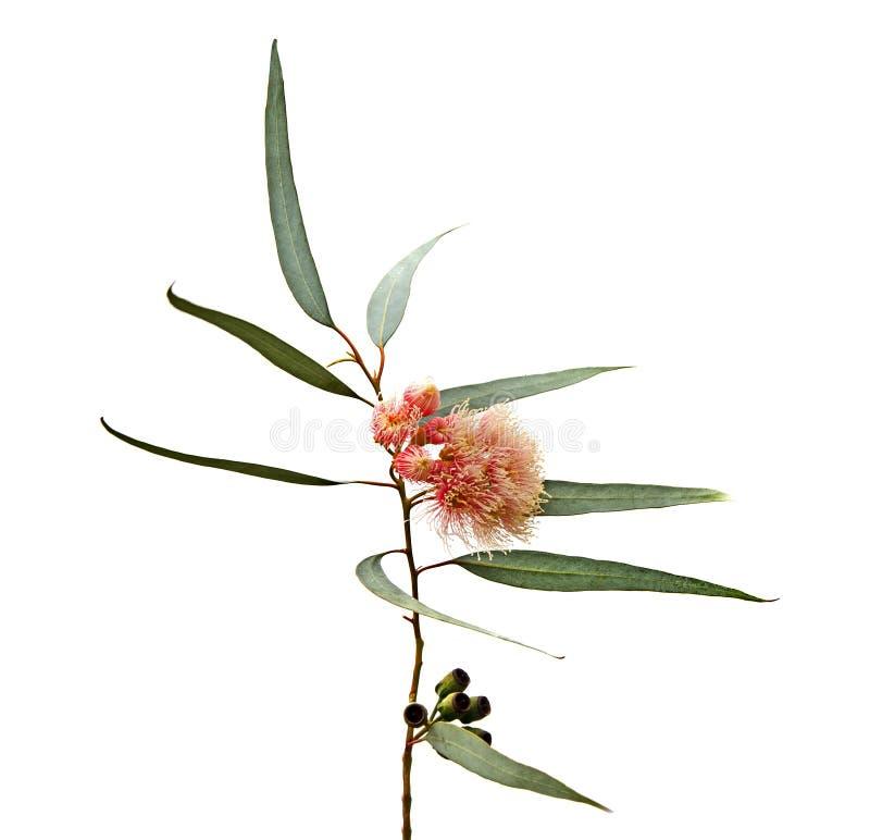 Eukalyptusblume lizenzfreies stockfoto