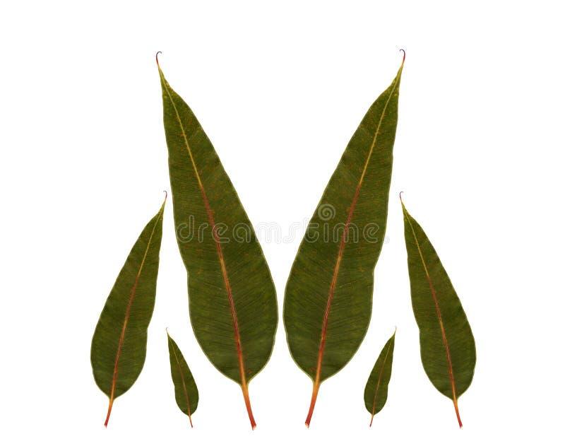 Eukalyptusgummi verlässt australische gebürtige Anlage stockfoto