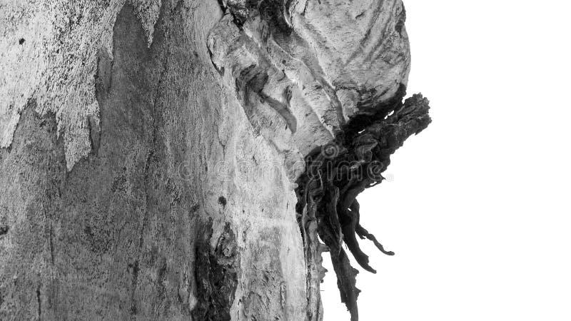 Eukalyptusmuster stockbild