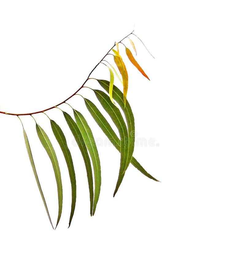 Eukalyptusniederlassung stockbild