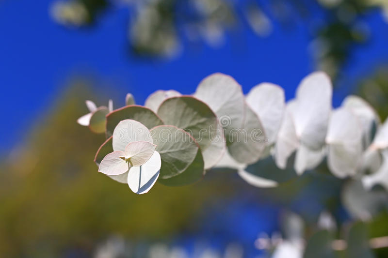 Eukalyptusniederlassung stockfotografie