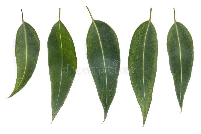 Eukalyptussidor som isoleras på vit arkivfoto