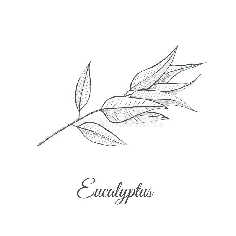 Eukalyptusskizzen-Vektorillustration stockbilder