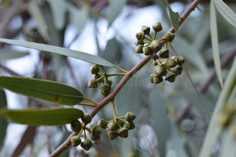 Eukalyptusträd arkivbild