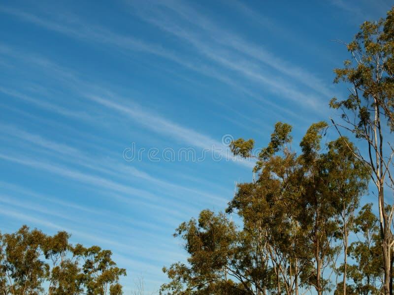 Eukalyptusträd för sky för vinter för Cirrusoklarheter blåa arkivbild