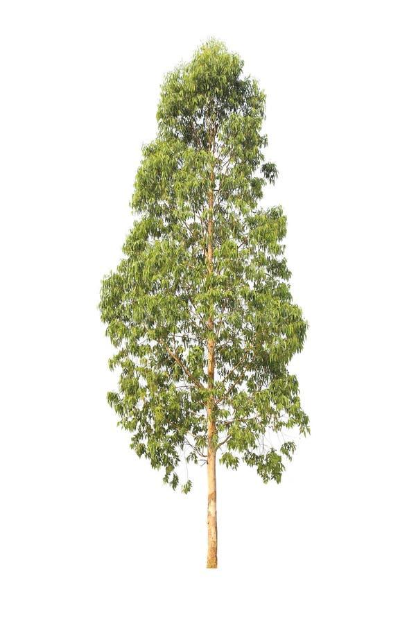 Eukalyptusträd som isoleras på vit bakgrund arkivfoto