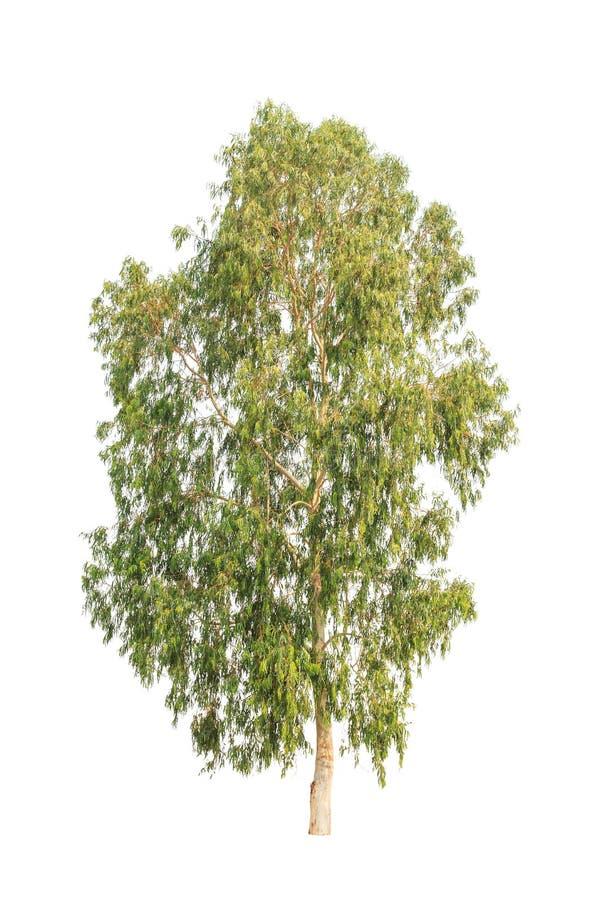 Eukalyptusträd, tropiskt träd som isoleras på vit royaltyfria foton
