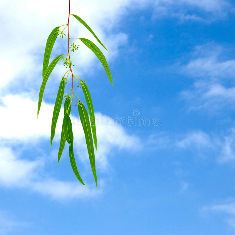 Eukalyptuszweig lizenzfreies stockbild