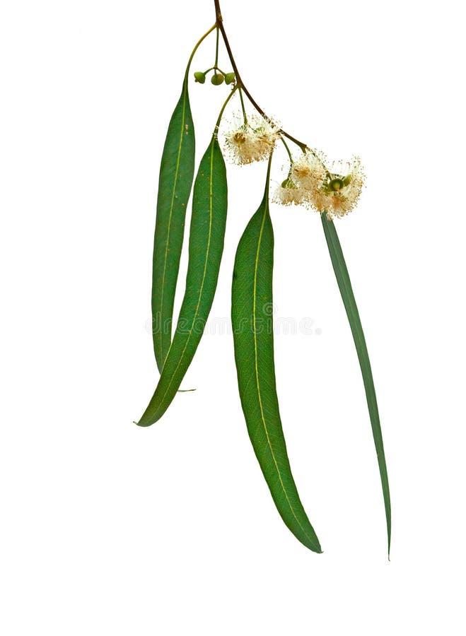 Eukalyptuszweig lizenzfreies stockfoto