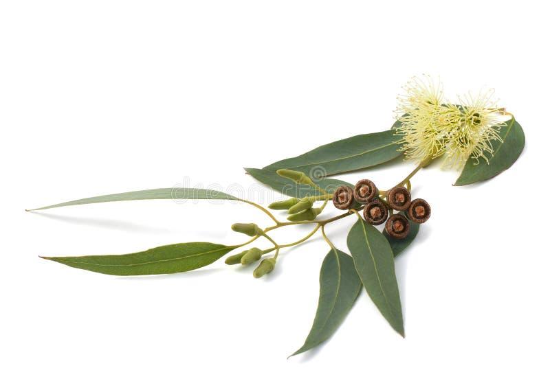 Eukalyptuszweig stockfotografie