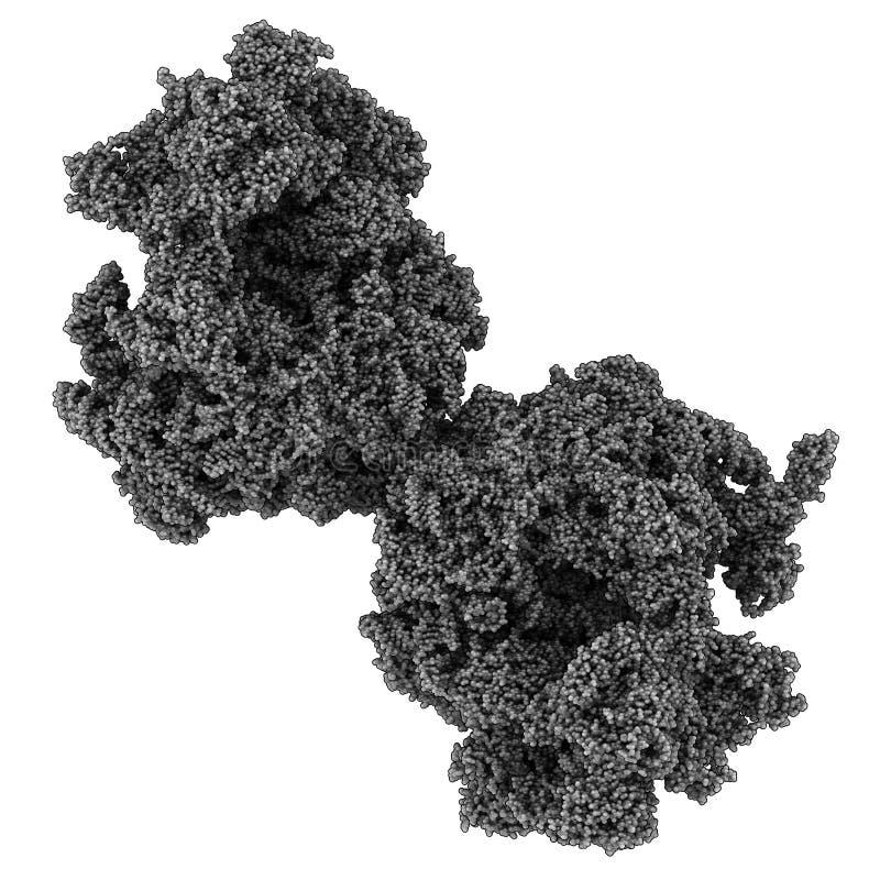 Eukaryotic ribosome (80-tal, från bagarens jäst) stock illustrationer