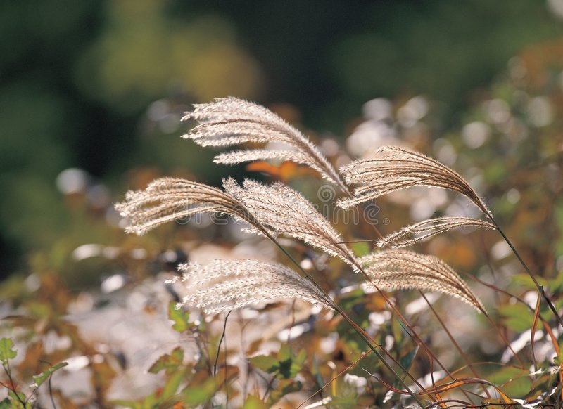 Download Eulalia at Nature stock photo. Image of plant, leaves, fall - 943590