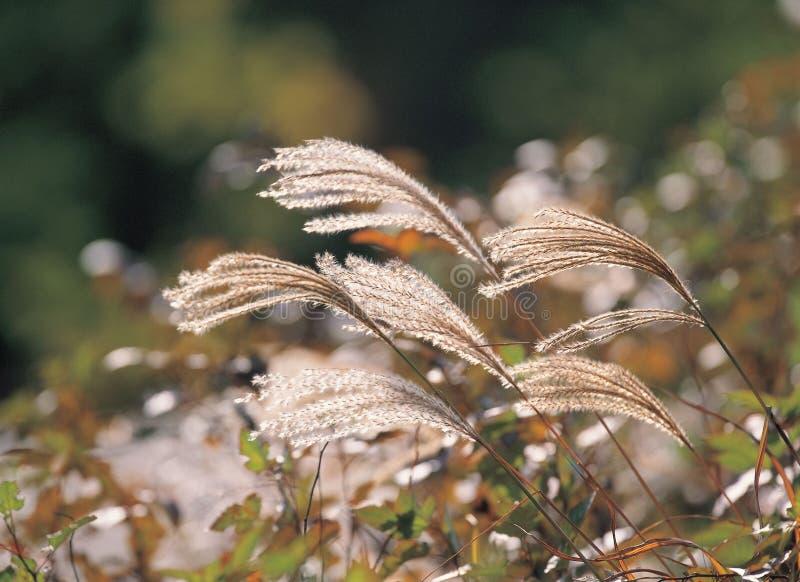 eulalia natury zdjęcie stock