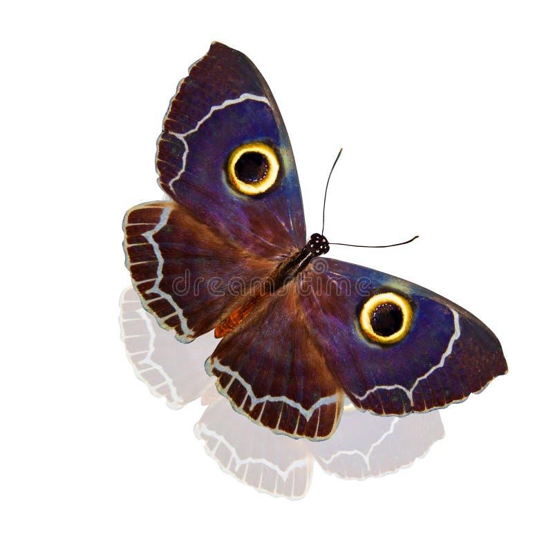 Eule ähnlicher tropischer Schmetterling auf den Flügeln Getrennt auf weißem Hintergrund lizenzfreie stockbilder