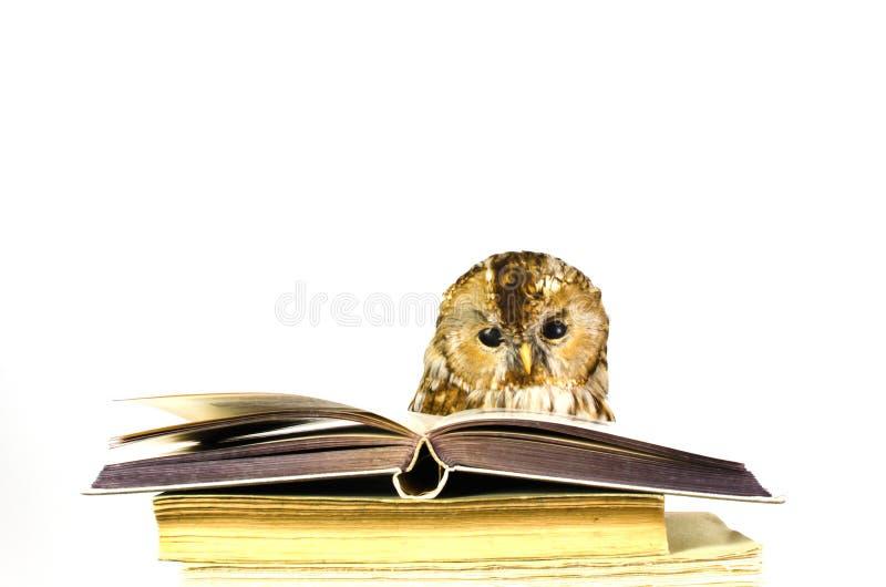 Eule an einem Stapel Büchern lizenzfreie stockbilder