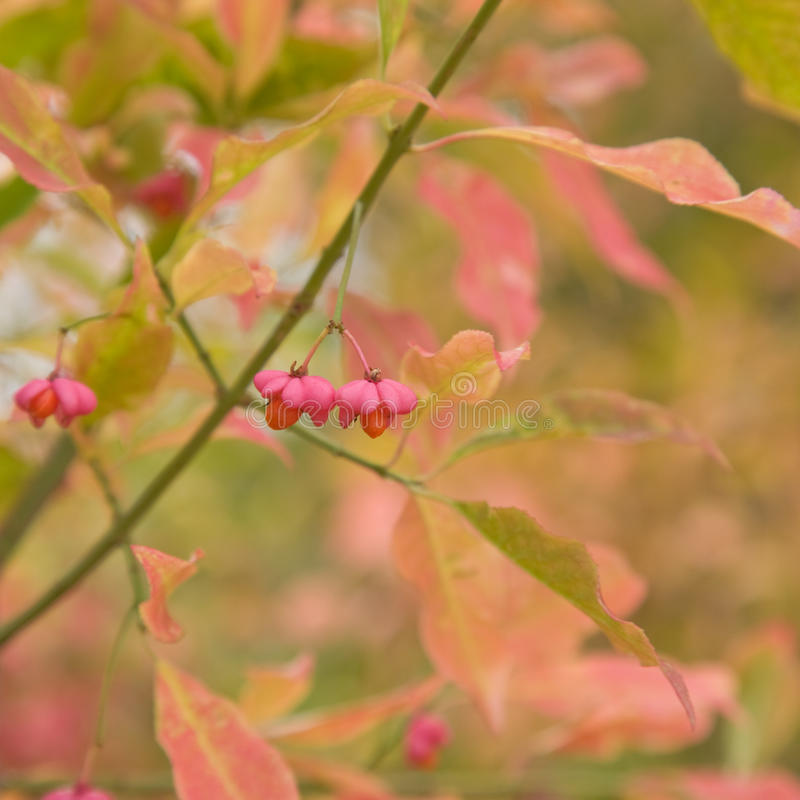 Euonymus stock photos
