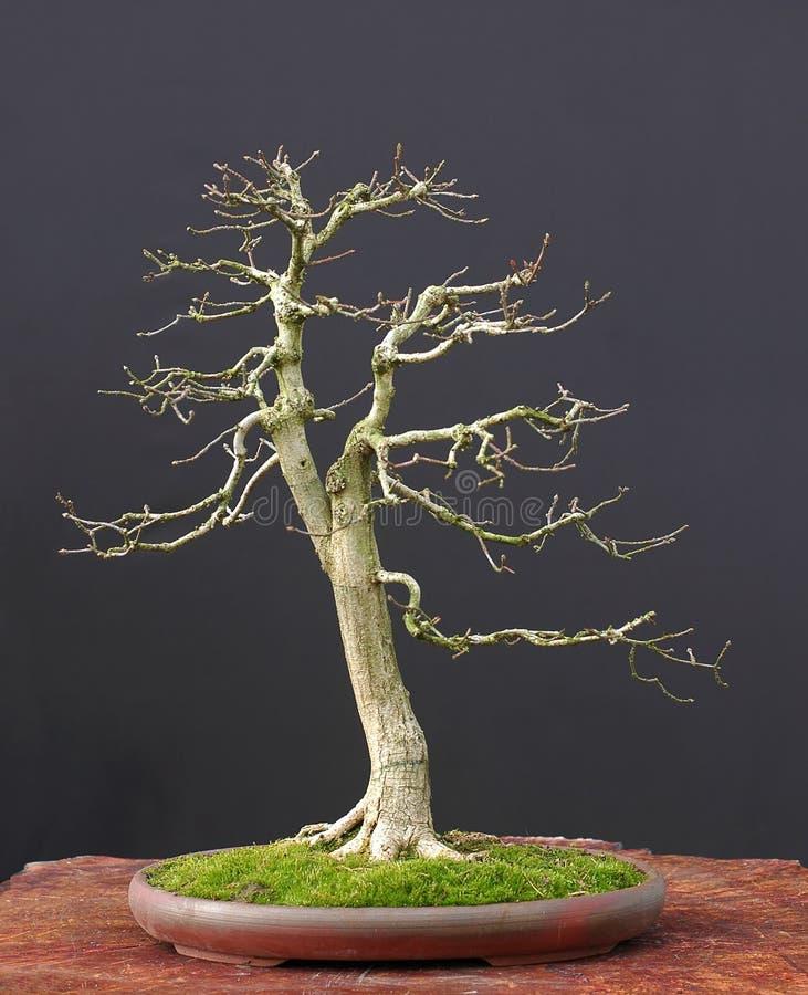 Free Euonymus Bonsai In Winter Stock Image - 2002221