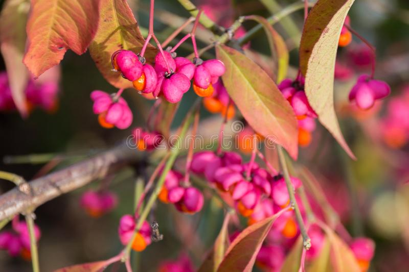 Euonymus europaeus with red toxic fruits in autumn royalty free stock image