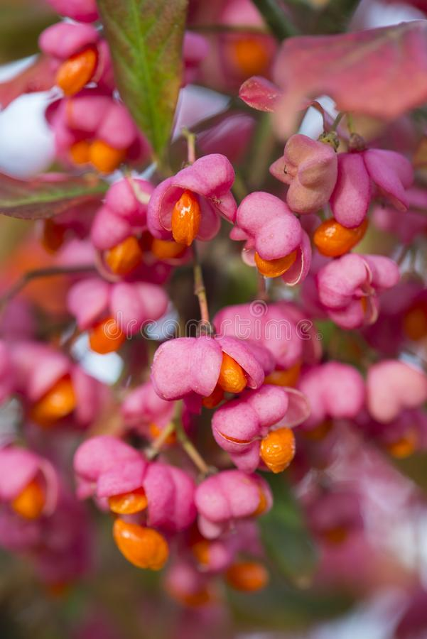 Euonymus europaeus, spindle tree royalty free stock images