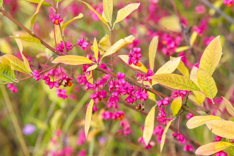 Euonymus. but include spindle or spindle tree, burning-bush, strawberry-bush, wahoo, wintercreeper, or simply euonymus. stock photo