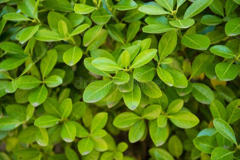 Euonymus japonicus, axe à feuilles persistantes, axe japonais photos libres de droits