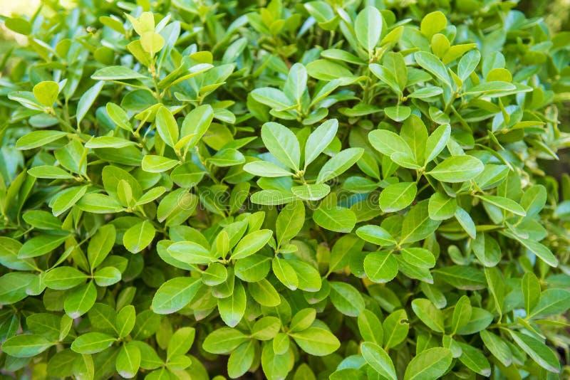 Euonymus japonicus, fuso sempreverde, fuso giapponese fotografia stock