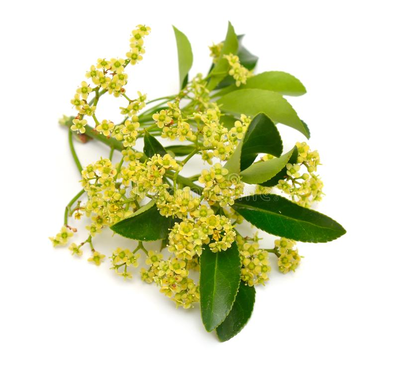 Euonymus japonicus or Japanese spindle. Flowers. Isolated on white background royalty free stock photo