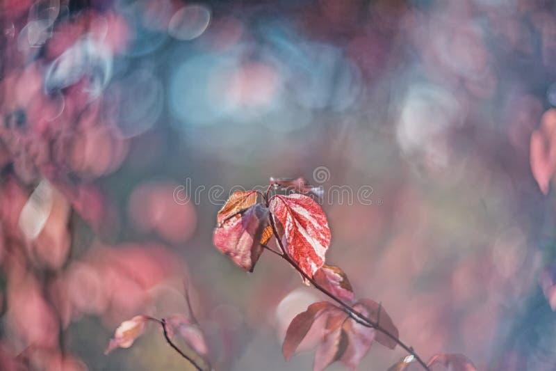 Euonymus tendre d'arbuste de rose d'automne un jour ensoleillé Art wallpaper Foyer mou sélectif photo libre de droits