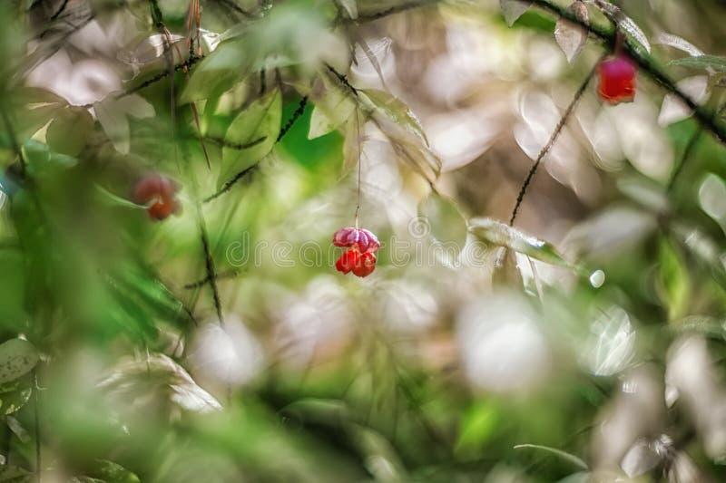 Euonymus tendre d'arbuste de rose d'automne un jour ensoleillé Art wallpaper Foyer mou sélectif photos stock