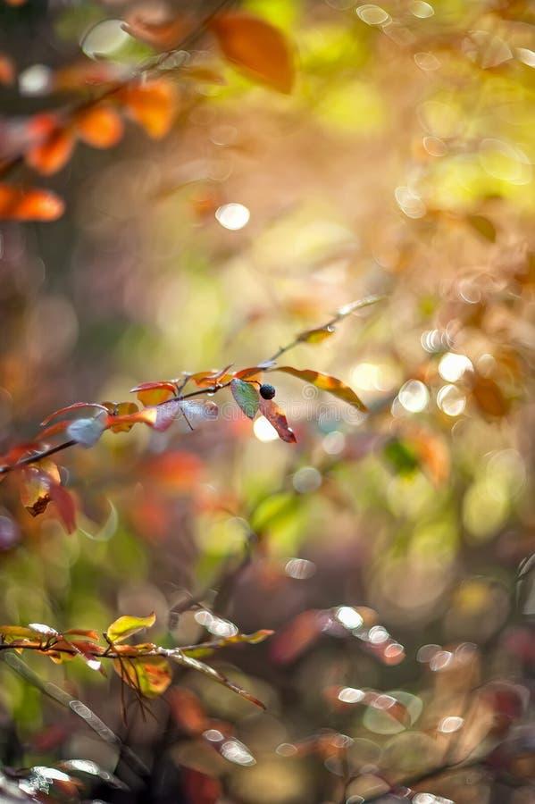 Euonymus tendre d'arbuste de rose d'automne un jour ensoleillé Art wallpaper images libres de droits