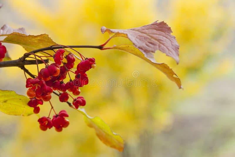 Euonymusträd med gul bakgrund royaltyfri fotografi