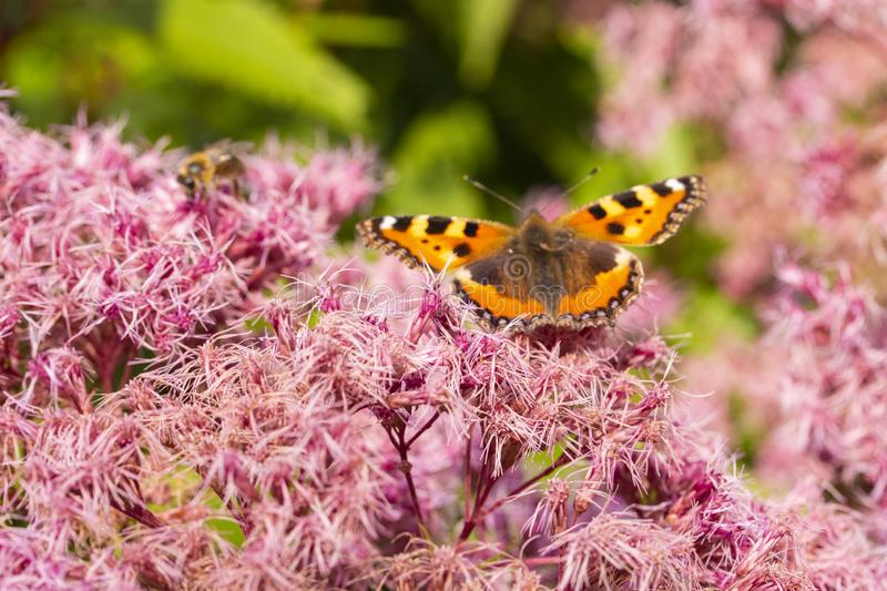 Eupatorium odoratum pink purple flowers with fluffy hairs. Butterfly Small Tortoiseshell Nymphalis urticae on a blooming royalty free stock photos