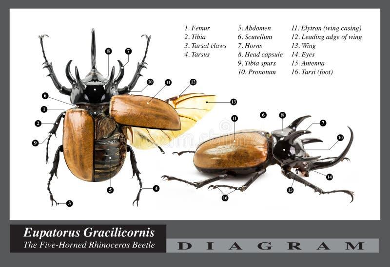 Eupatorus-gracilicornis Käferdiagramm Stockbild - Bild von tier ...