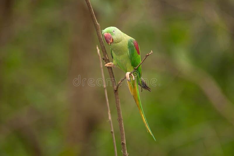 Eupatria masculino hermoso de Alexandrine Parakeet Psittacula fotos de archivo