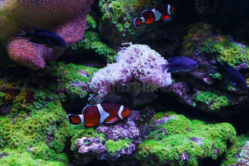 Euphilia coralino hermoso bajo el agua imagenes de archivo