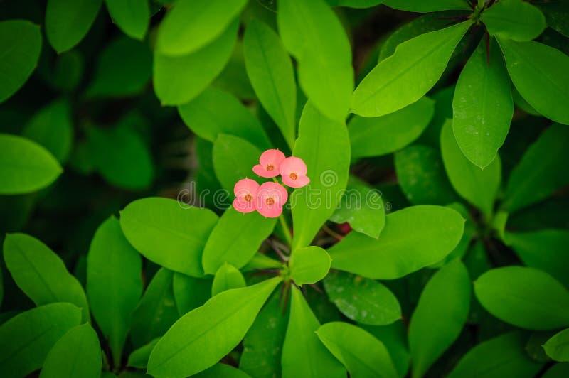 Euphorbe également connue sous le nom de couronne des épines, de l'usine du Christ ou de l'épine du Christ Usine fleurissante images libres de droits