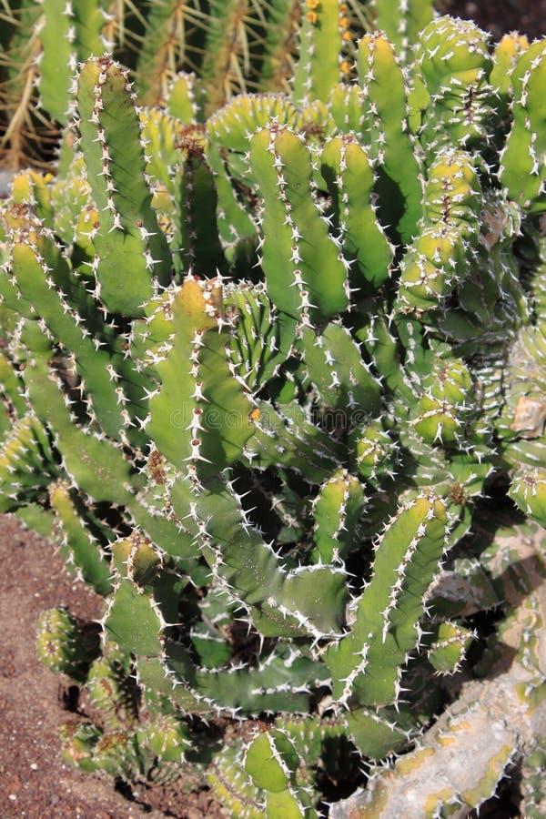 Euphorbia Canariensis royalty free stock photography
