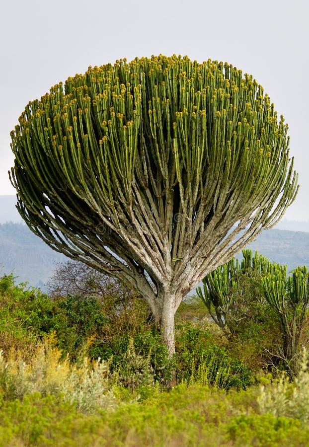 Download Euphorbia Candelabrum Stock Photography - Image: 33105992
