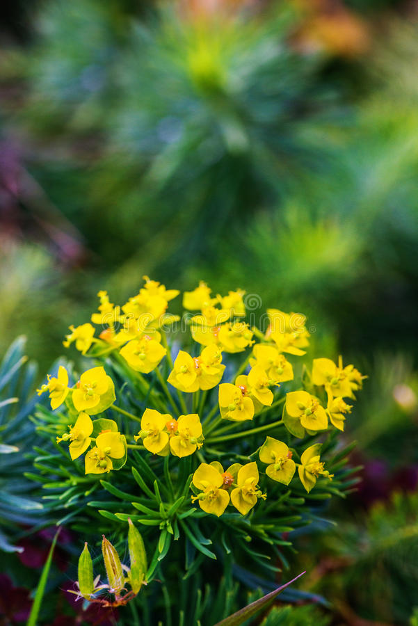 Euphorbia cyparissias. In garden of summer royalty free stock images