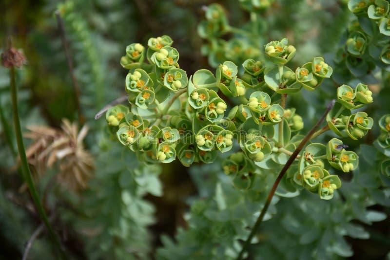 Euphorbia helioscopia - a spurge plant. Also known as Sun Spurge Umbrella Milkweed Wart Spurge and Madwoman`s milk. Spurge flowers Euphorbia Amygdaloides royalty free stock images