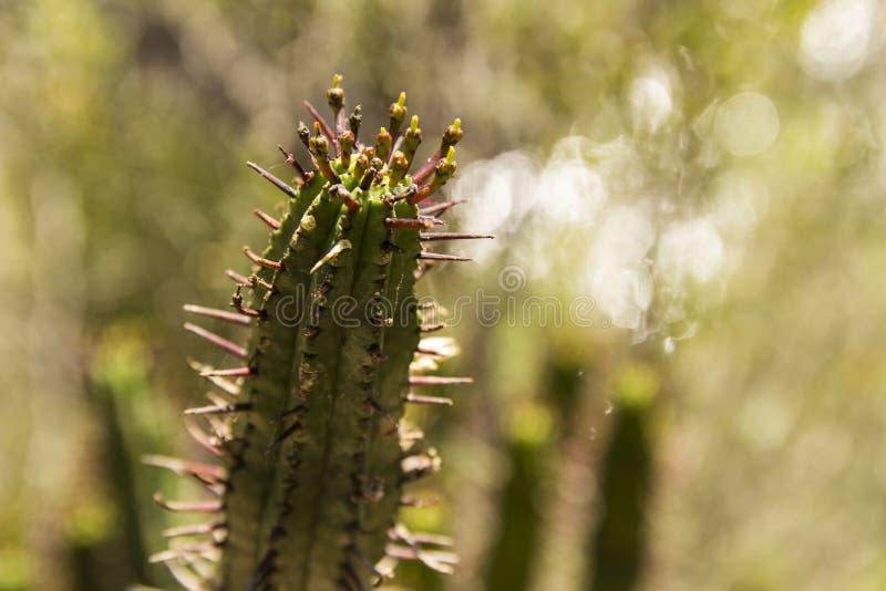 Euphorbia heptagona royalty free stock photos