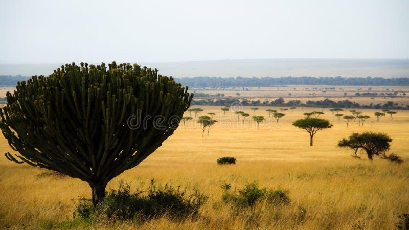 Candelabra tree royalty free stock image