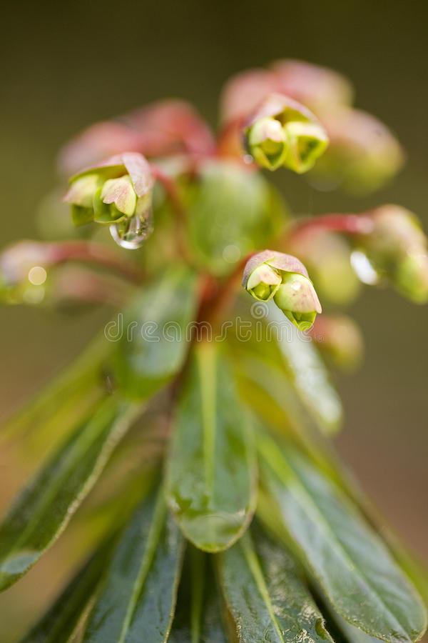 Download Euphorbia macro stock photo. Image of spring, yellow - 18336746